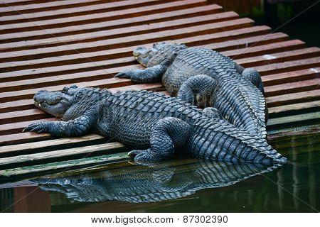Two alligators moving toward riverside