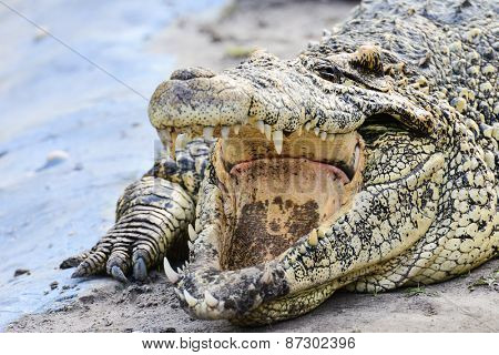 Nile crocodile close-up
