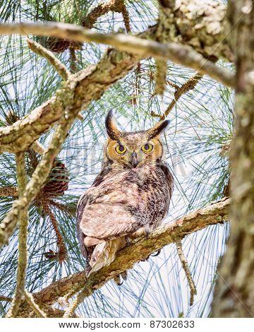 Vigilant Owl