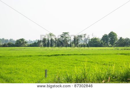 Rice Field Green Grass With Sun Shine