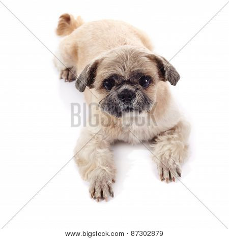 The Amusing Small Doggie Of Breed Of A Shih-tzu