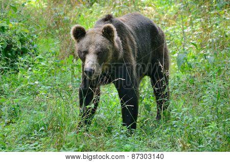 Brown Bear In Poland