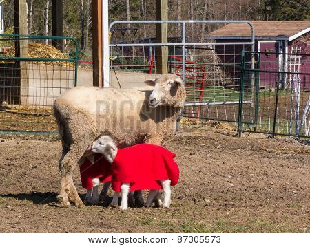 Sheep Nursing Her Two Lambs