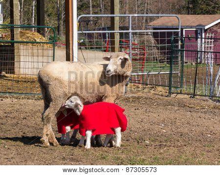 Sheep Nursing Her Two Lambs