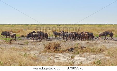 Wildebeests In Botswana