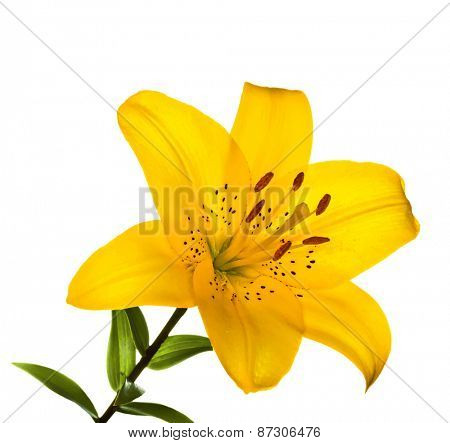 Beautiful lilly isolated on white background, vector