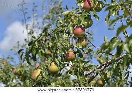 Paradise Pear