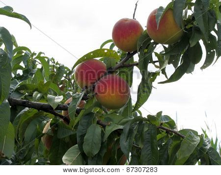 Red Peaches On Tree Branches