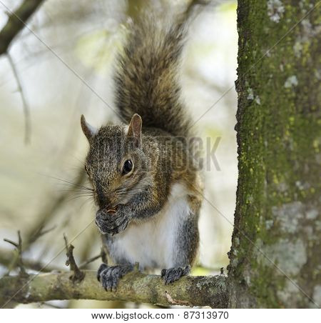 Eastern Gray Squirrel In Florida Wetlands