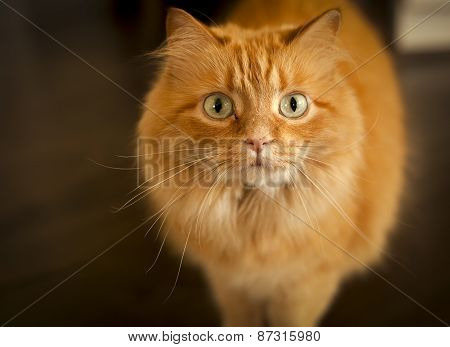 orange cat looking up at viewer