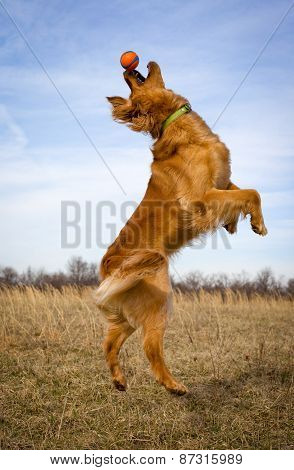 Leaping golden retriever with orange ball on nose