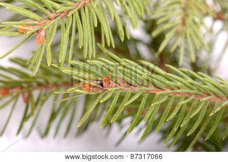 Christmas Green Tree Eve