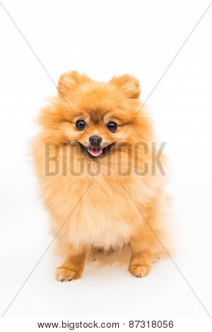 Pomeranian Dog Isolated On White