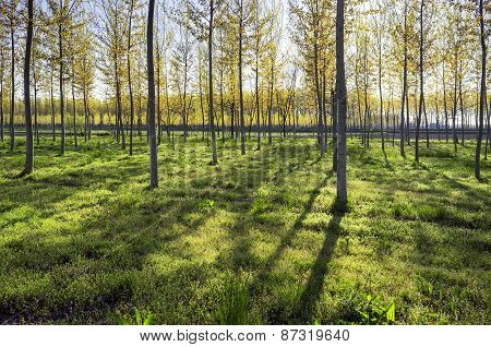 Poplar woods backlight. Color image