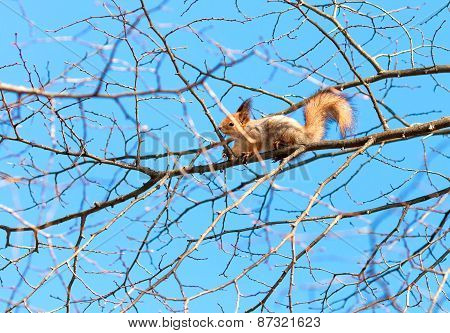 Red Squirrel Sits High On A Tree Branch