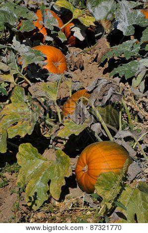 Autumn Harvest: Pumpkin Patch