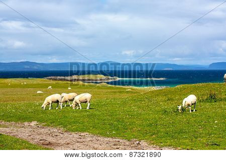 Sheep And Horses In The Fields Of Iona In The Inner Hebrides, Scotland Sheep In The Fields Of Iona I