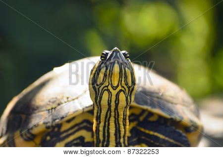 The Red-eared Slider Turtle Closeup