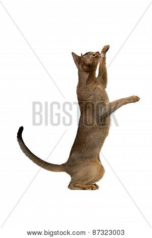 Abyssinian Cat Plays Standing On Its Hind Legs