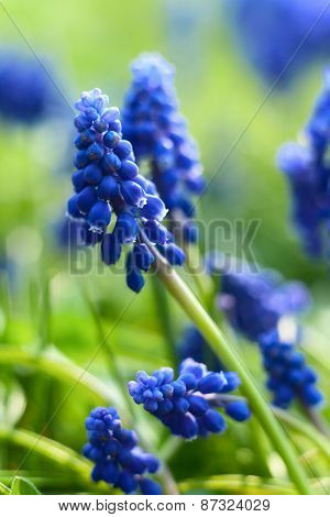 Small blue flowers at spring