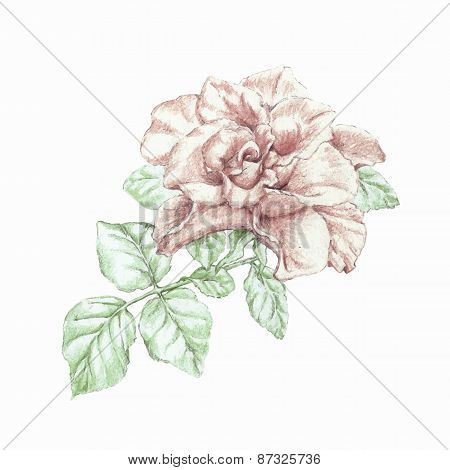 Vector Hand Drawn Pencils Rose