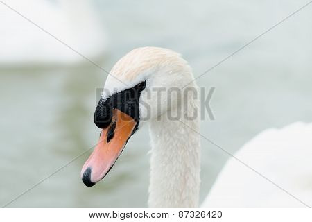Swan swimming with ducks