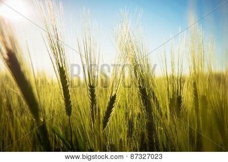 Closeup photo of some fresh wheat