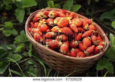 basket with berry in grass