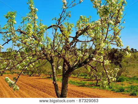a cherry tree in full bloom in a cultivated field