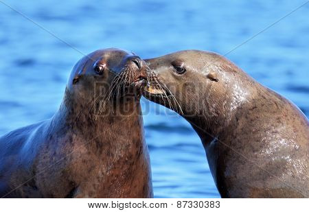 California Sea Lions Telling Secrets