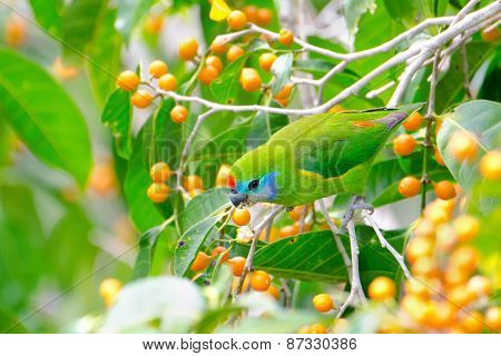 Double-eyed Fig Parrot from Queensland,  Australia