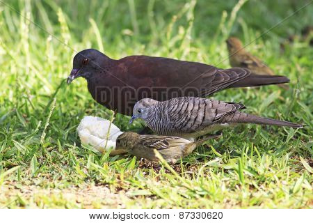 Peaceful dove, Malagasy turtle dove and Red fody.