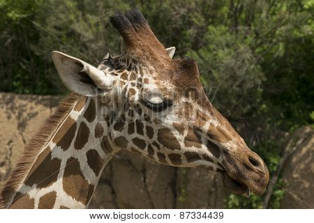 Closeup side profile of giraffe head on sunny day