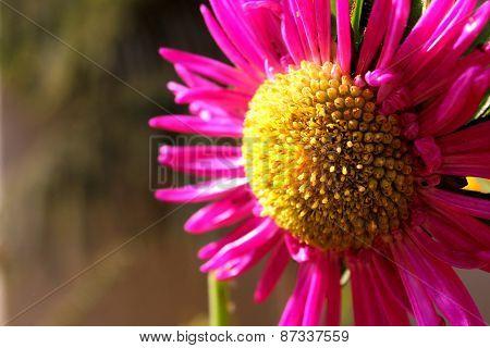 Sunflower Close Up In Garden