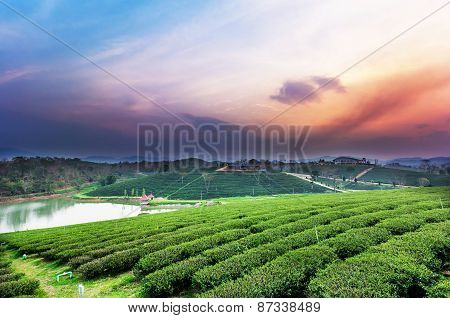 Sunset View Of Tea Plantation Landscape
