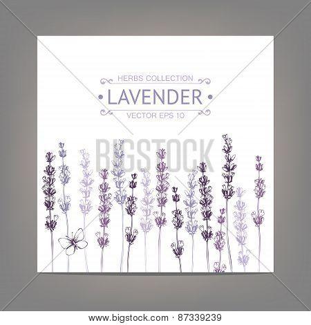 Vintage  lavender flowers sketch