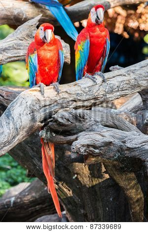Colorful parrots, scarlet macaws sitting on log in safari world, Bangkok Thailand