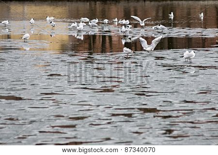 Seagulls On Ice Floes Of The Spring Lake