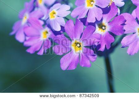 Primula Farinosa.