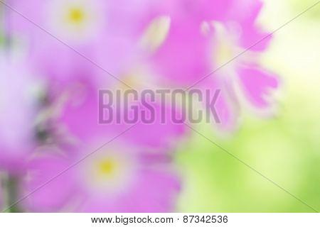Flower (primula Farinosa) Blur Background.