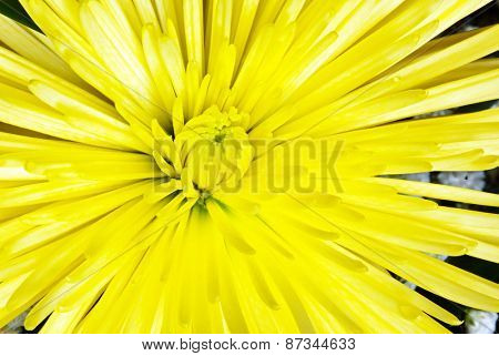Bright Yellow Spider Mum