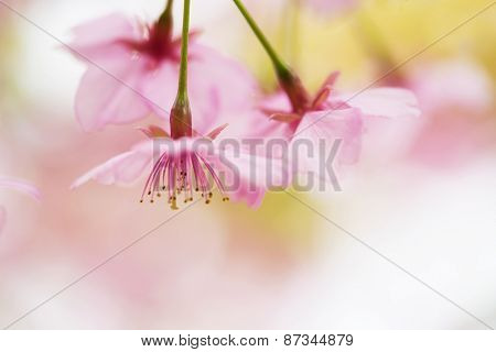 Spring cherry blossom close-up with beautiful pastel color background. Extremely shallow depth of field. Kawazu sakura cherry blossom (Cerasus lannesiana, 'Kawazu-zakura')