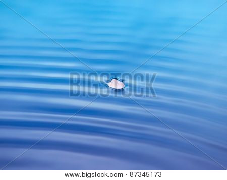 A single cherry flower petal floating on pond surface with slight water ripple. Shallow depth of field. Intentionally processed in dreamy color.