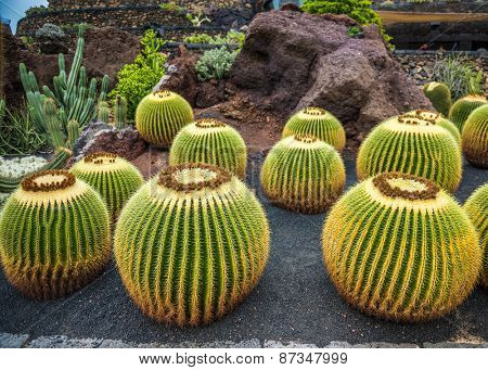 View of cactus garden, jardin de cactus in Guatiza, Lanzarote, Canary Islands, Spain