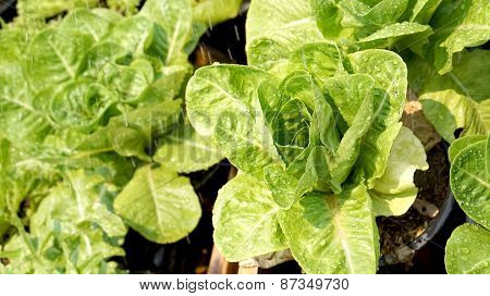 Salad Vegetable Hydroponics Garden With Water Droplets