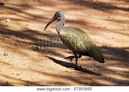 Hadada Ibis Walking