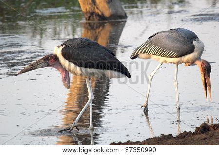Couple Of Marabou Storks In The Water