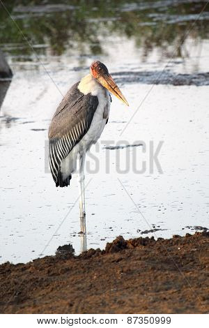 Marabou Stork In The Water
