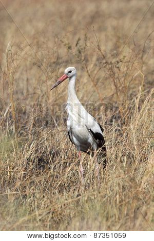 White Stork In The Grass