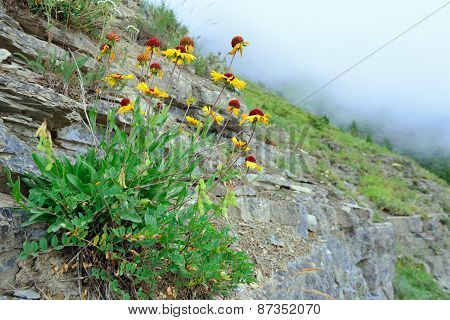 High Alpine Tundra Flowers Growing On The Rock